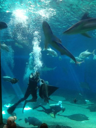 Maui Ocean Center: The sharks being fed
