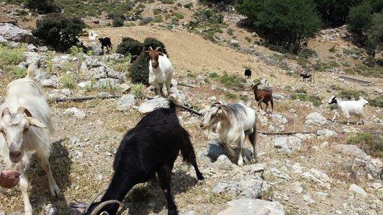 Safari Club Crete: Les chèvres à la bergerie.