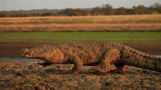 Shayamoya Tiger Fishing & Game Lodge: On aboat cruise, view crocodiles