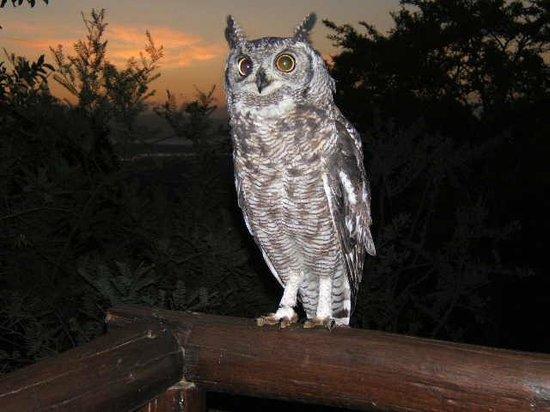 Shayamoya Tiger Fishing & Game Lodge: Nandi, the resident Spotted Eagle owl