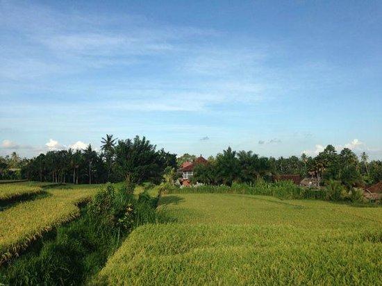 Campuhan Ridge Walk: beautiful rice paddies