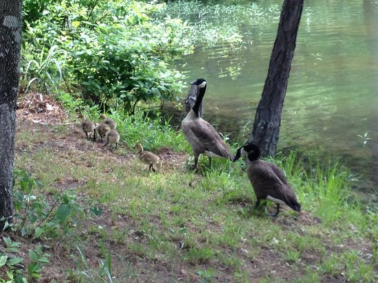 Lake Martin Recreation Area: Geese