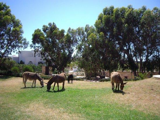 Villa Gonatouki: Resident Donkeys