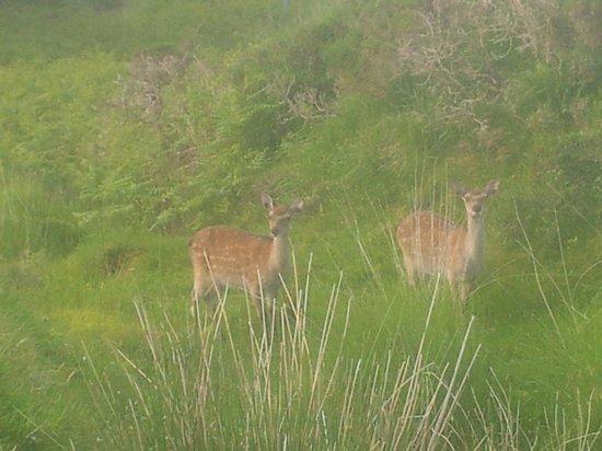 Sneem Hotel: Deer on the way to sneem
