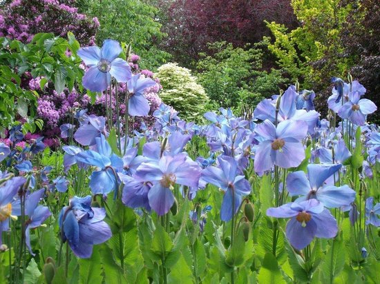 Dalemain Mansion & Historic Gardens: Dalemain's Famous Blue Poppies - RHS Award of Garden Merit