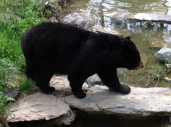 North American Bear Center: Big Ted, he is so special.