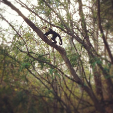 Four Seasons Resort Costa Rica at Peninsula Papagayo: Monkey!
