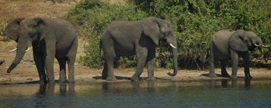 Muchenje Safari Lodge: Herds of elephants