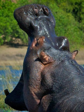 Muchenje Safari Lodge: Hordes of Hippos