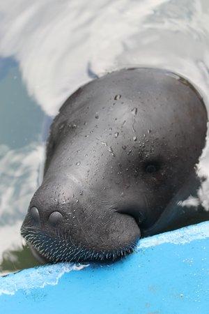 ACOBIA-DWAzoo : Bébé lamantin