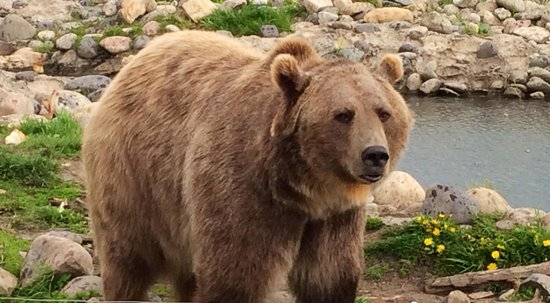 Montana Grizzly Encounter: Brutus