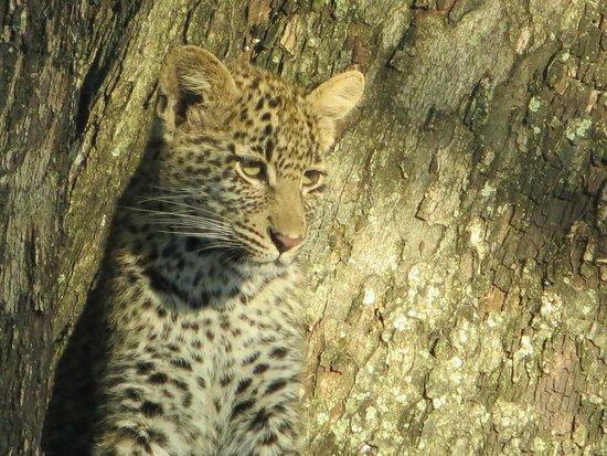 MalaMala Sable Camp : female leopard cub