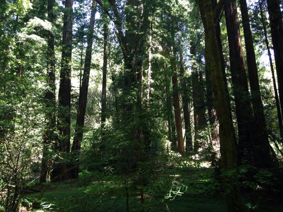 Muir Woods National Monument: Beautiful trees
