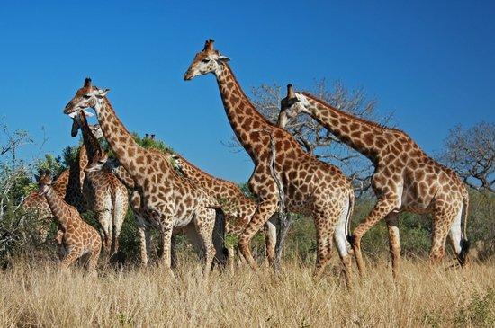 Heritage Tours & Safaris: Giraffe Family