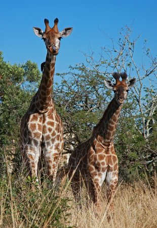Heritage Tours & Safaris: Giraffe Babies