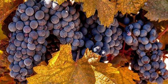 MJA Vineyards: Fall Fruit--Napa Valley, CA