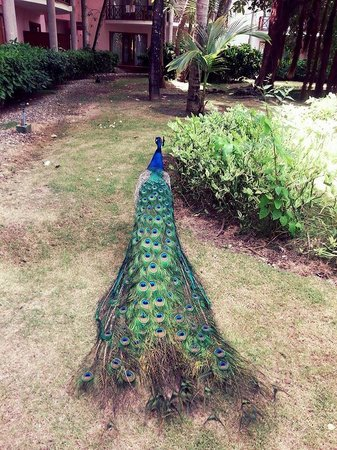 Natura Park Beach - EcoResort & Spa: This peacock was my favorite