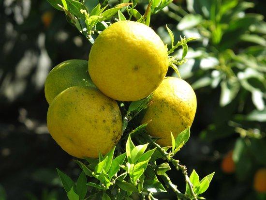 Parkhotel Brenscino: Früchte im Hotel Garten