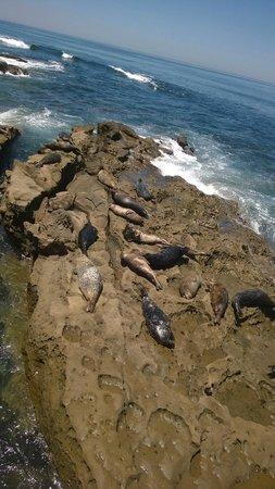 La Jolla Cove : Sea Lions