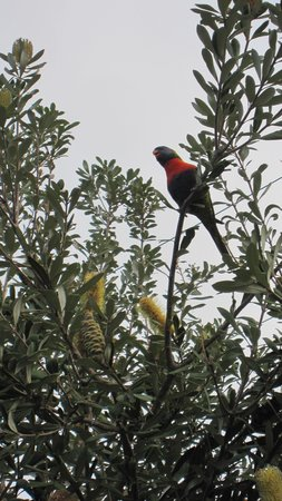 Manly Beach : Local birds