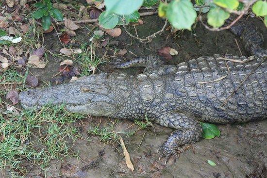 iSimangaliso Wetland Park: Crocodile