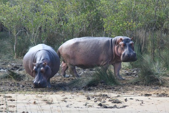 iSimangaliso Wetland Park: Two Very Large Hippo