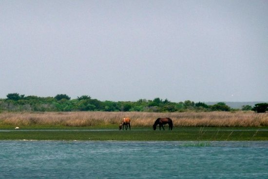 Shackleford Banks : Some horses from a distance. (Saw better views on the ferry)