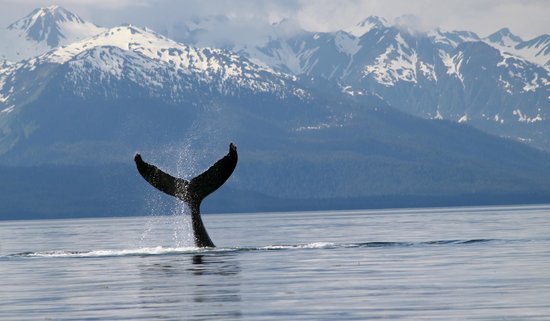 Harv and Marv's Outback Alaska: Our high tailing whale!