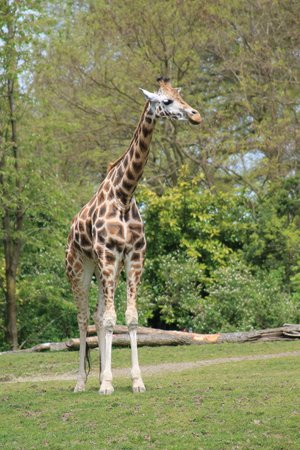 Woodland Park Zoo : Giraffe
