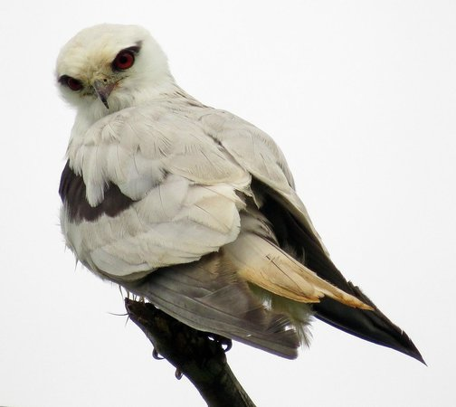 Crater Lakes Rainforest Cottages: Black-shouldered Kite