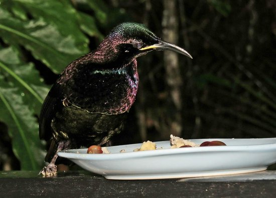 Crater Lakes Rainforest Cottages: Male Victoria's Riflebird