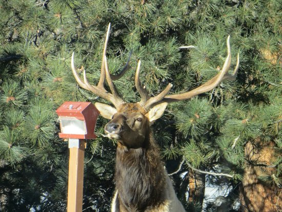 McGregor Mountain Lodge: Elk at bird feeder