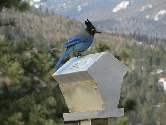McGregor Mountain Lodge: Steller's Jay at feeder