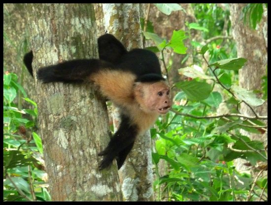 Cahuita National Park: White Headed Capuchin