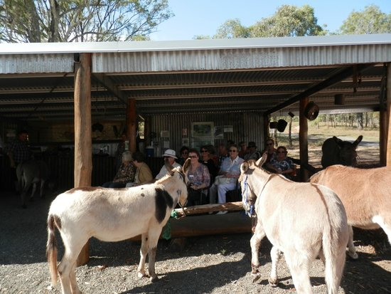 Boonah, Austrália: What a destiny for a rescued donkey