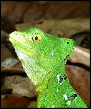 Cahuita National Park: Basilisk