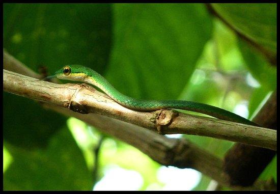 Cahuita National Park: Vine Snake
