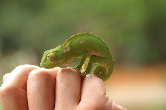 Villa 33: A cute little chameleon in the garden