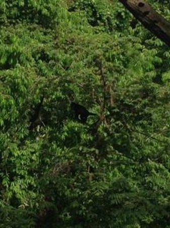 Hotel Costa Verde: Howler monkeys off of the deck