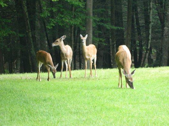 Cove Haven Resort: Deer on property