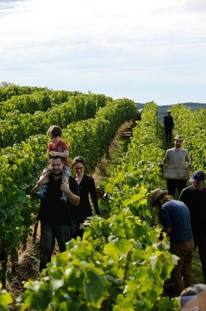 Delamere Vineyards: Checking the pickers work