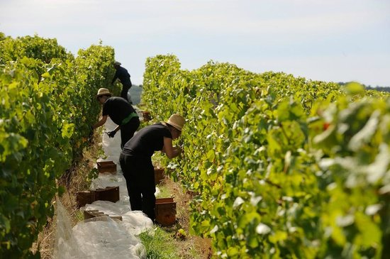 Delamere Vineyards: Hand harvesting the vineyard