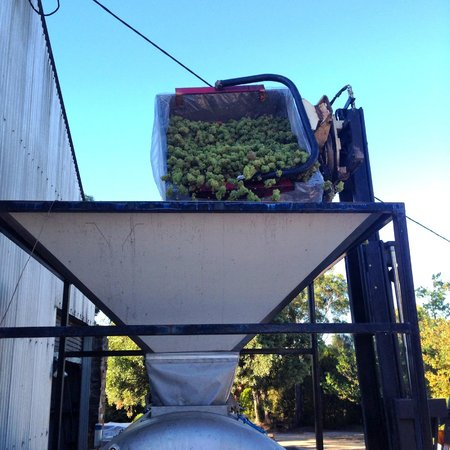 Delamere Vineyards: Grapes heading in to the crusher
