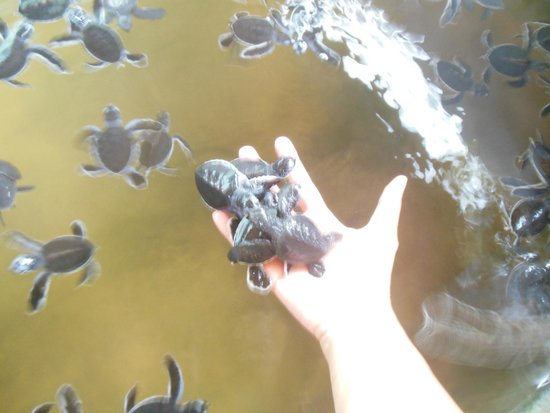 Kosgoda Sea Turtle Conservation Project: more tiny ones