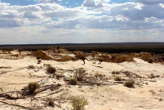 Mungo National Park: Kangaroos everywhere!!