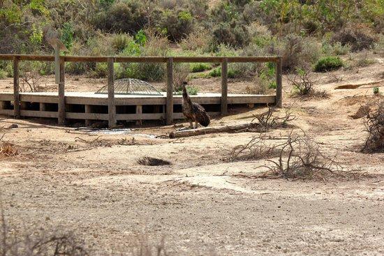 Mungo National Park: Emu
