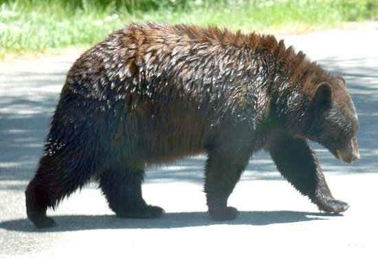 Yellowstone Bear World: Strolling bear