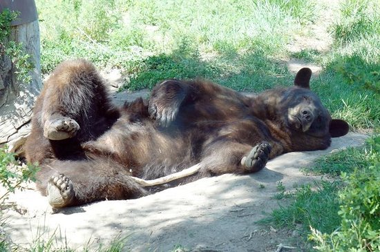 Yellowstone Bear World: Relaxing bear