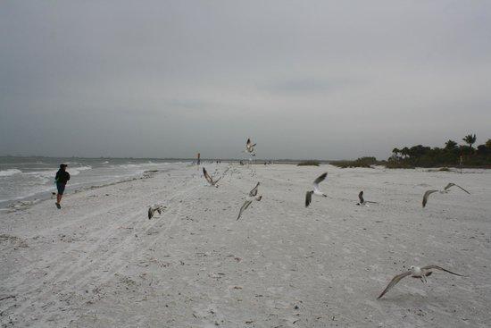 Pink Shell Beach Resort & Marina: Birds on the Beach