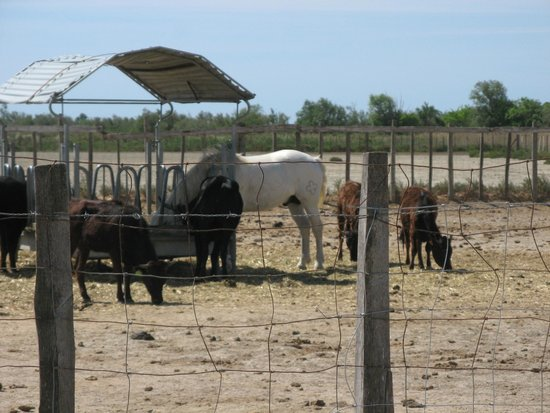 Camargue Nature Park: this was the closest we got this trip to horse and steer